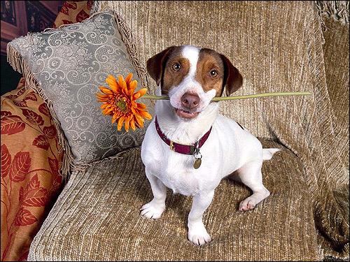 Собачка с цветком в пасти, Фото фотография собаки