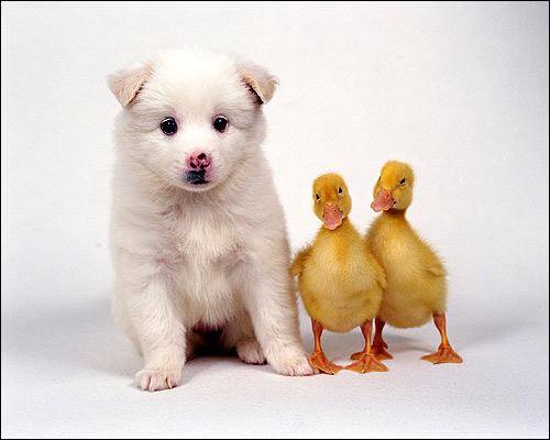 Белый щенок с гусятами, Фото фотография смешная картинка