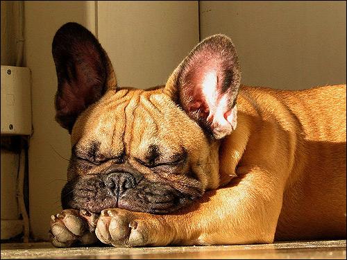 Палевый французский бульдог, Фото фотография собаки картинка
