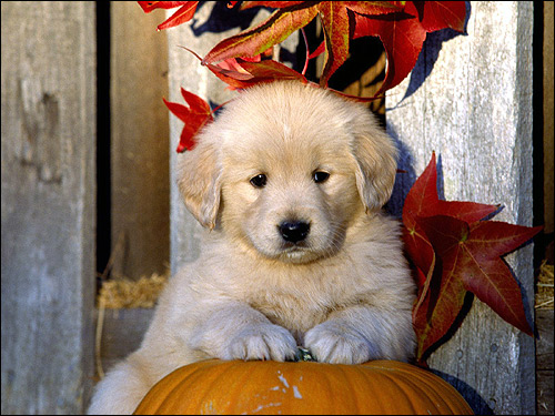 Щенок золотистого ретривера, голден-ретривера, Фото фотография собаки картинка