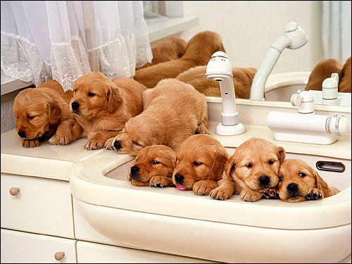 Щенки золотистого ретривера, голден-ретривер, Фото фотография собаки картинка