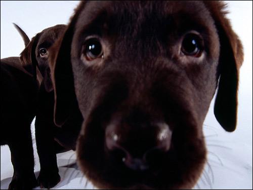 Щенок коричневого лабрадора ретривера, Фото фотография собаки картинка