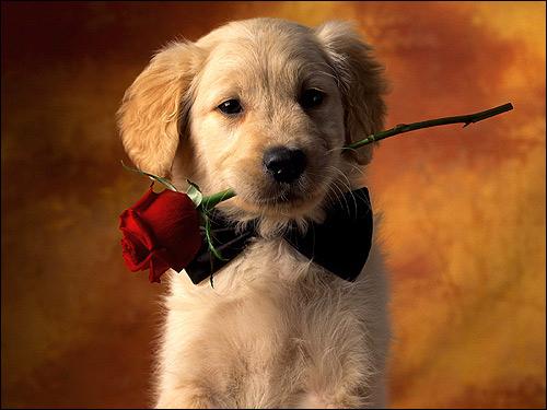 Щенок золотистого ретривера с розой, голден-ретривер, Фото фотография собаки картинка