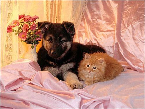 Щенок немецкой овчарки с рыжим котенком, Фото фотография картинка