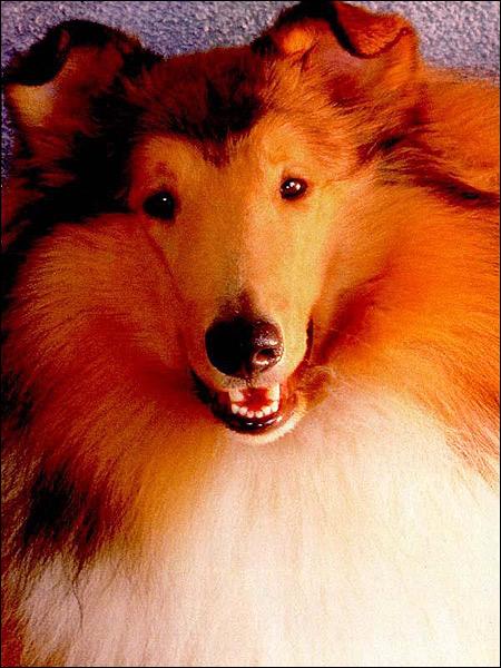 Шетландская овчарка (шелти), Фото фотография породы собак
