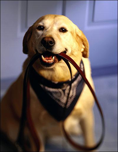 Лабрадор держит в зубах поводок, Фото фотография собаки картинка