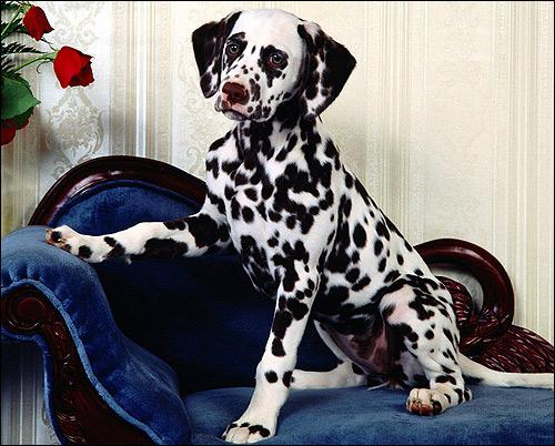 Далматин, далматинец, Фото фотография породы собак картинка