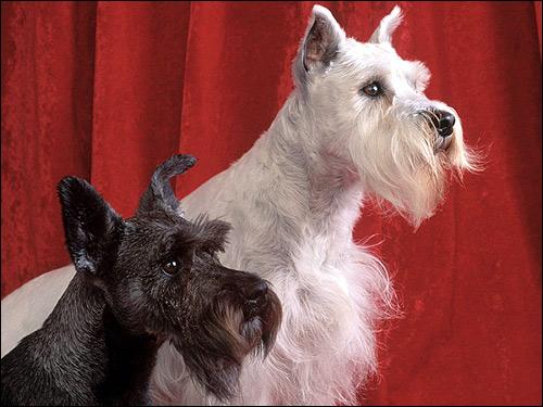 Шотландские терьеры, скотч-терьеры, Фото фотография породы собак картинка