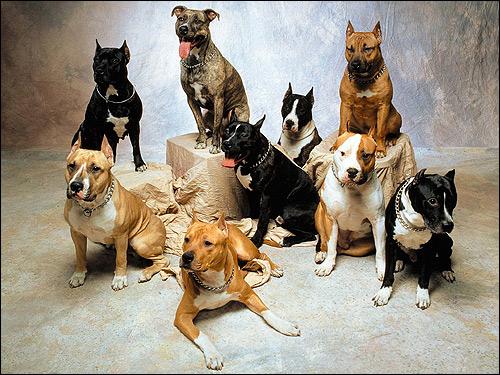 Американский стаффордширский терьер, Фото фотография породы собак