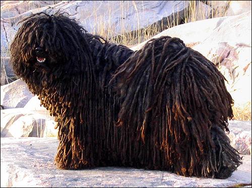 Пули, Фото фотография породы собак картинка