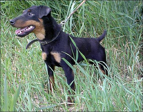 Немецкий ягдтерьер, NEELE VOM KIRSCHENSIEK - Чемпион Украины, Абсолютный победитель состязаний по лисе, на фото 12 мес, Фото фотография породы собак картинка