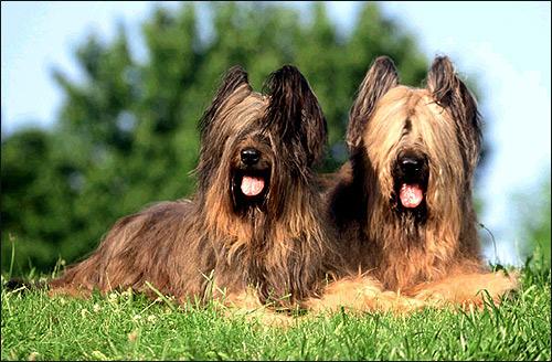 Бриар (Берже де бри), Фото фотография породы собак картинка