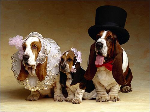 Семья бассетов, бассет-хаунды, Фото фотография собаки картинка