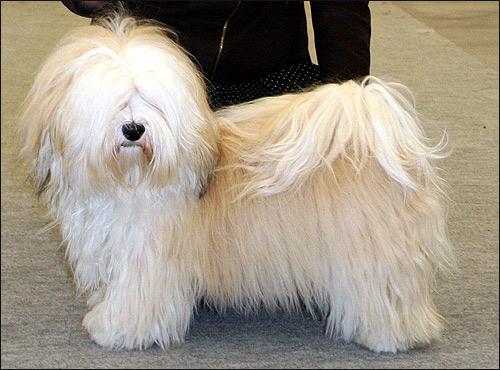 Мальтийская болонка, или мальтезе, — порода собак. Относится к породам болонок или бишонов. Мальтийская болонка — это небольшая собака.