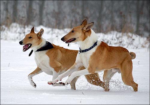 Колли короткошерстный, Фото фотография породы собак картинка