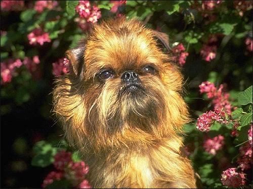 Бельгийский гриффон, Фото фотография породы собак