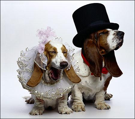 Бассет-хаунды молодожены, Фото фотография собаки картинка