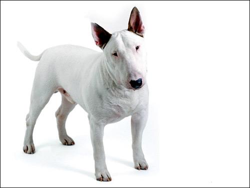 Бультерьер, Фото фотография породы собак картинка