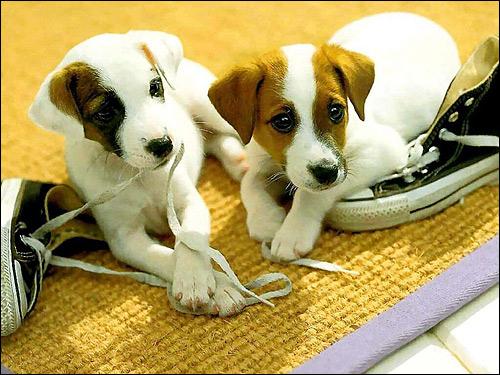 Щенки джек-рассел-терьера, Фото фотография собаки картинка