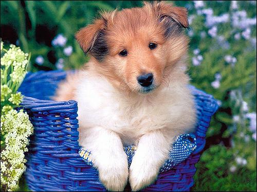 Щенок колли, Фото фотография собаки картинка