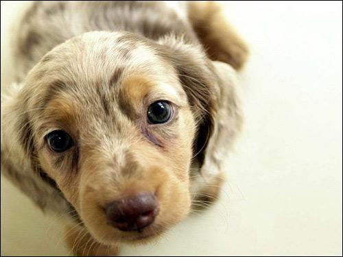 Щенок мраморной таксы, Фото фотография собаки картинка
