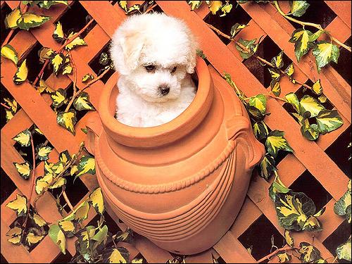 Беленький пушистый щеночек в вазе, Фото фотография собаки картинка