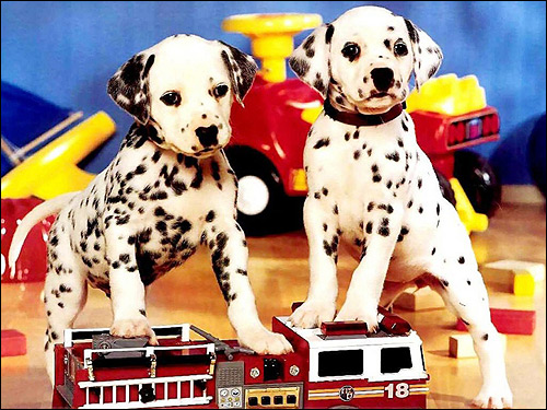 Щенки далматина (далматинца), Фото фотография собаки картинка