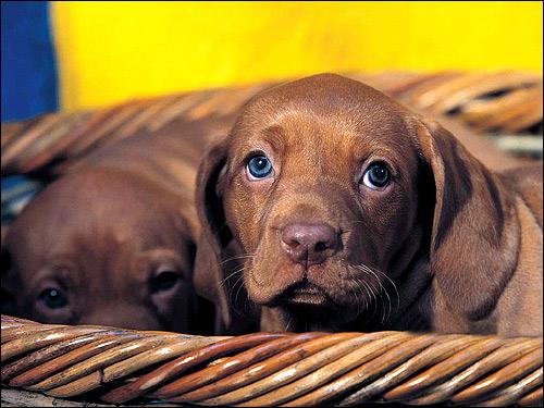 Щенки коричневой таксы, Фото фотография картинка собаки