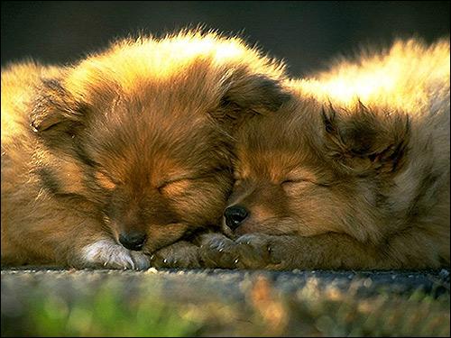 Спящие щенки, Фото фотография собаки картинка