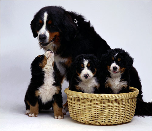 Бернский зенненхунд со щенками, Фото фотография собаки картинка
