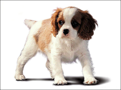 Щенок кавалер-кинг-чарльз-спаниеля, Фото фотография собаки картинка
