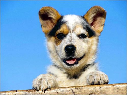 Улыбающийся щенок, Фото фотография собаки картинка