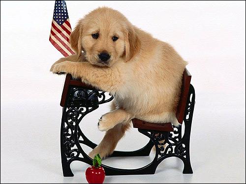 Щенок золотистого ретривера (голден-ретривера), Фото фотография собаки картинка