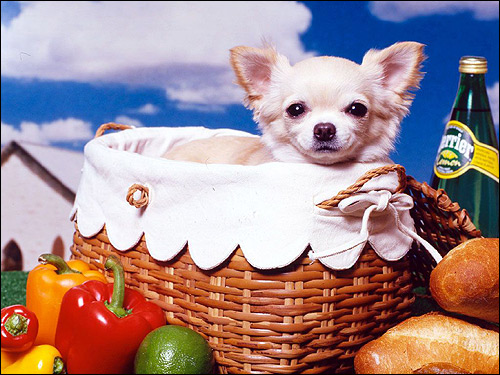 Щенок чихуахуа, фото фотография собаки картинка