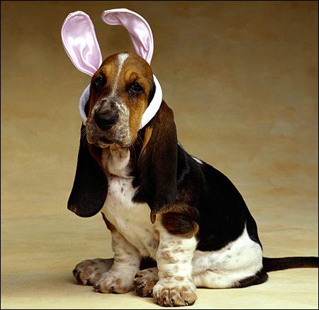 Щенок бассета, бассет-хаунд, Фото фотография картинка собаки