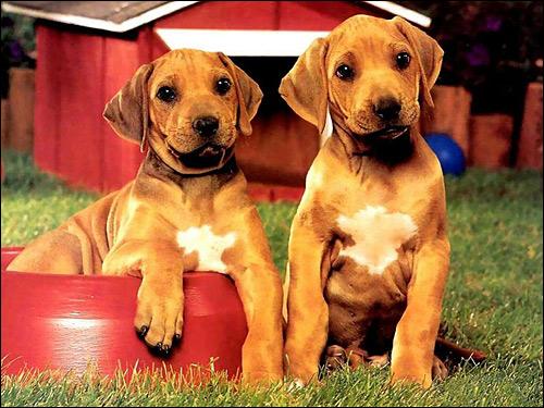 Щенки, Фото фотография собаки