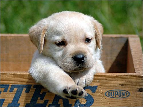 Щенок лабрадора ретривера в коробке, Фото фотография собаки картинка