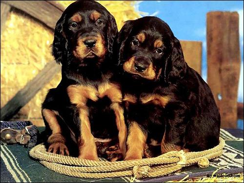 Щенки сеттер-гордона (шотландского сеттера), Фото фотография собаки картинка