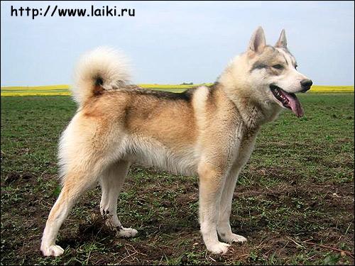 Западно-сибирская лайка Кубик, Фото фотография породы собак