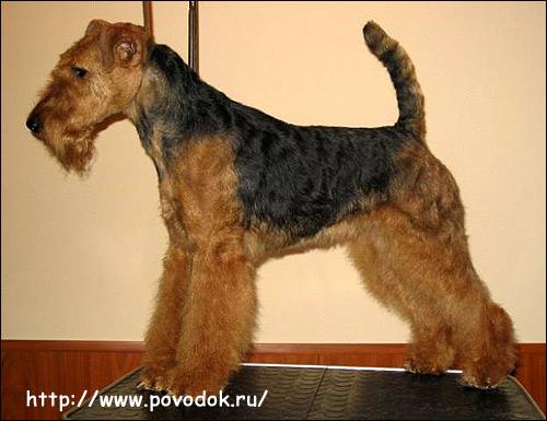 Вельштерьер, Фото фотография породы собак