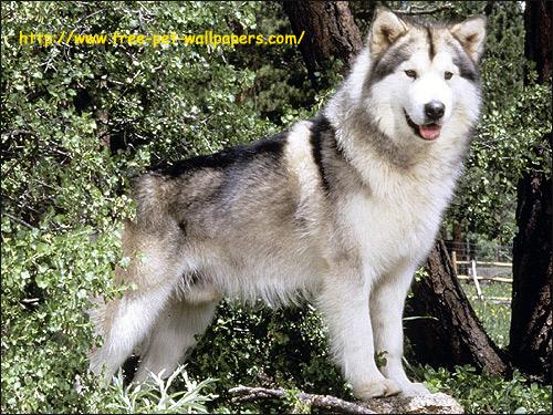 Аляскинский маламут, Фото фотография породы собак картинка