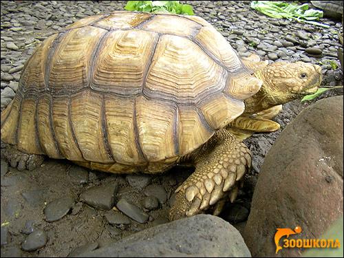 Черепаха азиатская, бирманская бурая (Manouria emys), Фото фотография картинка рептилии