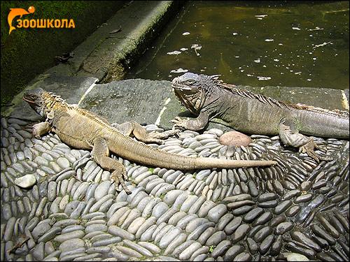 Игуаны, Фото фотография картинка рептилии