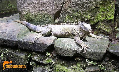 Игуана, Фото фотография картинка рептилии