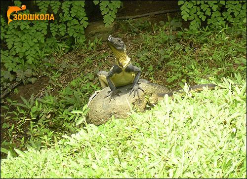 Парусная агама Вебера (Hydrosaurus weberi), Фото фотография картинка рептилии ящерицы
