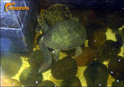 Змеиношейная черепаха, длинношейная черепаха (Chelodina longicolus), Фото фотография картинка рептилии