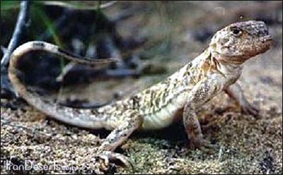 Такырная круглоголовка (Phrynocephalus helioscopus), Фото фотография картинка рептилии ящерицы