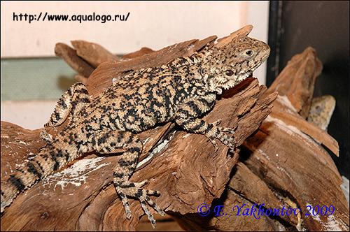 Хорасанская агама (Agama erythrogastra, Laudakia erytrogastra), Фото фотография рептилии картинка ящерицы