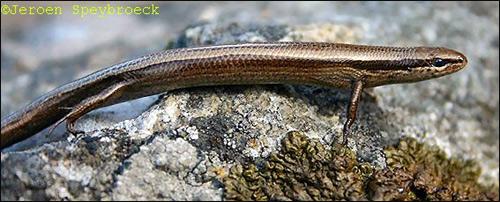 Европейский гологлаз (Ablepharus kitaibelii), Фото фотография картинка рептилии ящерицы