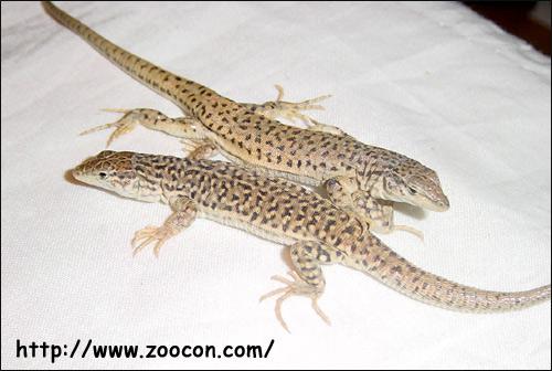 Ящурка гобийская, ящурка Пржевальского (Eremias przewalskii), Фото фотография картинка рептилии ящерицы